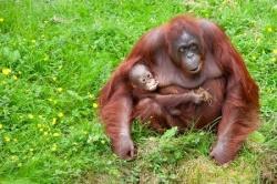 orangutan_mother&baby